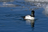 Common Goldeneye 2369