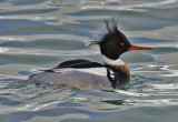 Red-breasted Merganser 3413