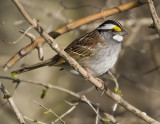 White-throated Sparrow 4356