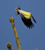 American Goldfinch 4645