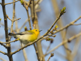 Prothonotary Warbler 6331