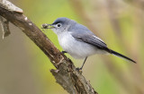 Blue-gray Gnatcatcher with a bee 6049