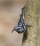Black and White Warbler with food 6233