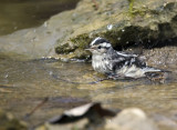 Black and White Warbler Bathing 6259.