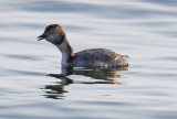 Horned Grebe with Lunch
