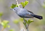 Blue-gray Gnatcatcher 0059