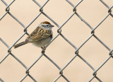 Chipping Sparrow 9981-1