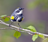 Yellow-rumped Warbler 0291