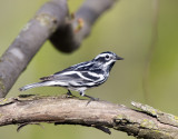 Black and White Warbler 0335