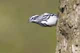Black and White Warbler 0342