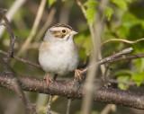 Clay-colored Sparrow 0683