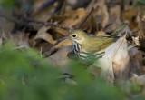 Ovenbird 0710