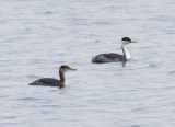Red-necked (left) & Western Grebes