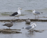 Great Black-backed Gull & Herrings