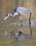little blue heron hunting