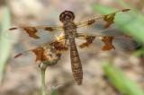 Amberwing Skimmer