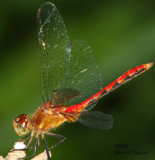 Yellow-legs Meadowhawk