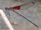 Rubyspot Broadwing