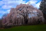 Wheeping Cherry Tree.jpg