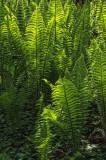 Ferns.jpg
