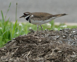Killdeer (One of the Parents)