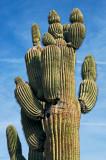 Multi armed saguaro