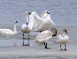 P1030374banded tundra swan.jpg