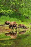 Khutzeymateen.....bearscapes