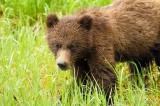 Khutzeymateen...the grizzly bear cubs