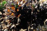 Monarch-y