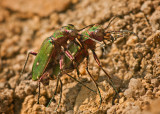 Green Tiger Beetles Mating