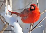 20110210 377 Northern Cardinal HP.jpg