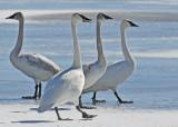 20110223 - 1 024  SERIES - Trumpeter Swans HP.jpg