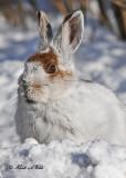 20110124 079 Snowshoe Hare HP.jpg