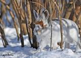 20110124 201 Snowshoe Hare.jpg