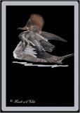 20110224 - 1 374r Hooded Merganser (F).jpg