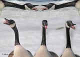 20110319 338 326 333 334 335 Canada Geese.jpg