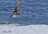 20110323 211 SERIES -  Wood Duck.jpg