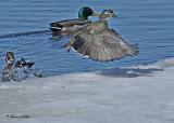 20110319 415 SERIES - Wood Duck HP.jpg
