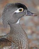 20110323 058 SERIES -  Wood Duck.jpg