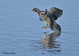 20110312 047 SERIES -  Wood Duck.jpg