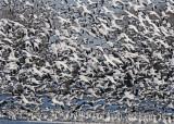 20110330 668 SERIES -  Snow Geese.jpg
