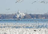 20110330 595 SERIES - Snow Geese.jpg