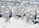 20110330 340 SERIES - Snow Geese.jpg