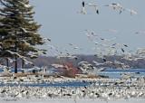 20110330 728 SERIES - Snow Geese.jpg