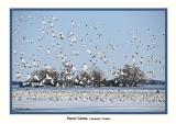 20110330 - 2 132 SERIES - Snow Geese HP R2.jpg