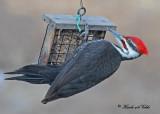 20110323 020 Pileated Woodpecker.jpg