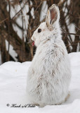 20110317 126 SERIES -  Snowshoe Hare.jpg