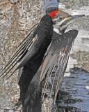 20110317 094 Pileated Woodpecker.jpg