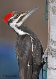 20110317 095 Pileated Woodpecker.jpg